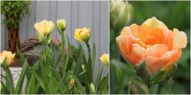 tulipan Charming Lady