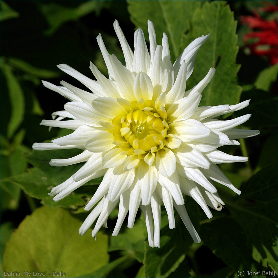 Dahlia 'My Love' - Dalia 'My Love' kwiat