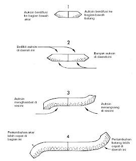 Gambar 13 . Interaksi gravitasi dan auksin mengontrol gerak batang dan akar