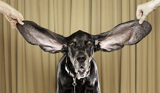 Dog With The Worlds Biggest Ears