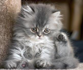 Saiba tudo sobre a raça de gato Persa . Fotos