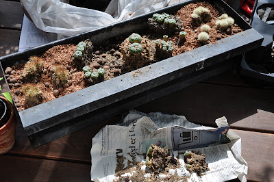 Flower box planted with peyote and Acharagma