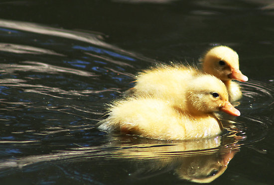 Cute Ducklings | Funny And Cute Animals