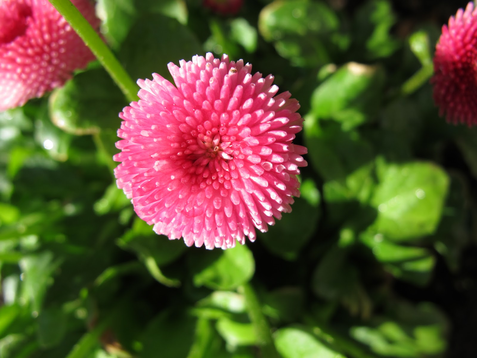 Addicted to making english daisies flower looms king henry viii english daisies izmirmasajfo