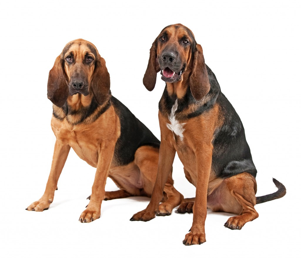 the dog in world bloodhound dogs. Black Bedroom Furniture Sets. Home Design Ideas