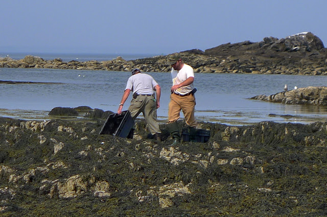 Harvesting seaweed on the coast of Maine