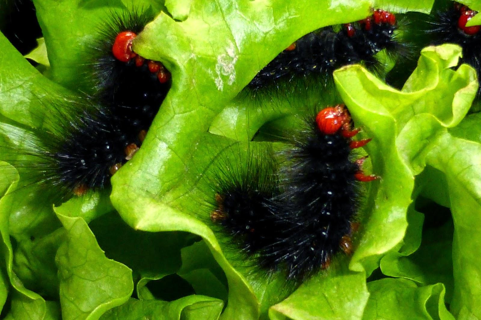 Radiarctia lutescens caterpillar