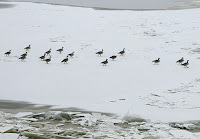 Canadian geese on the river