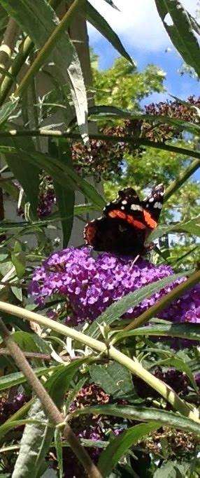 Fjärilsbusken lockar amiralen