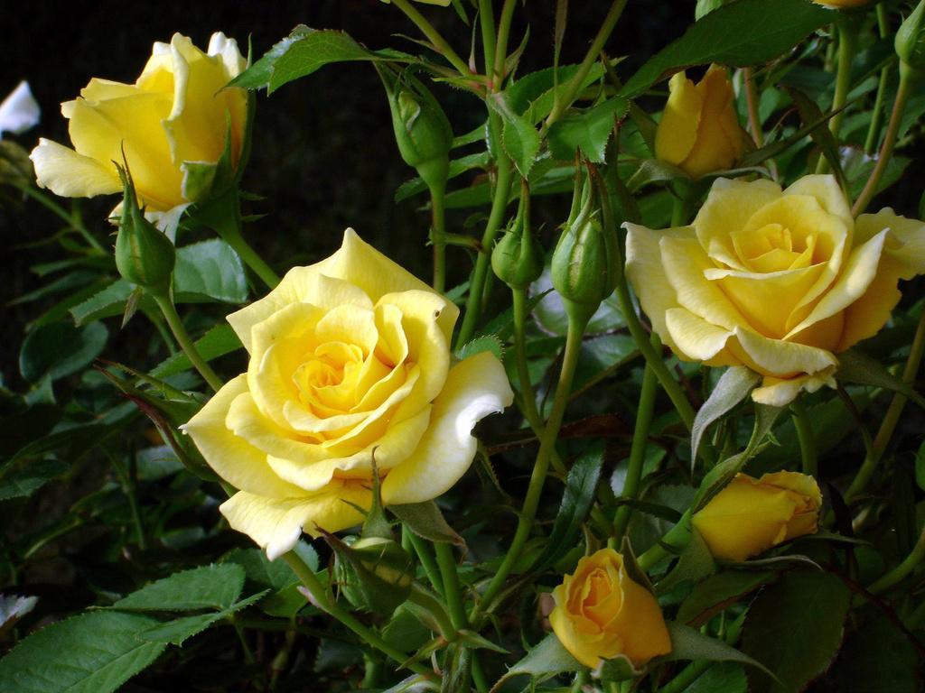 Valentine Cirano  Escritora O Jardim das rosas amarelas