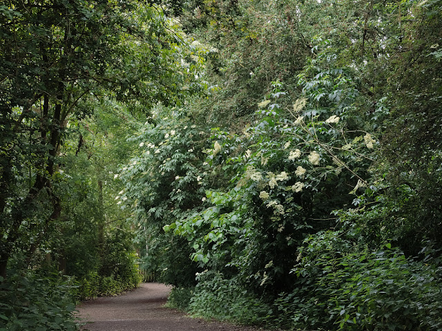 Elderflowers are clearly visible in the bushes and trees lining the path