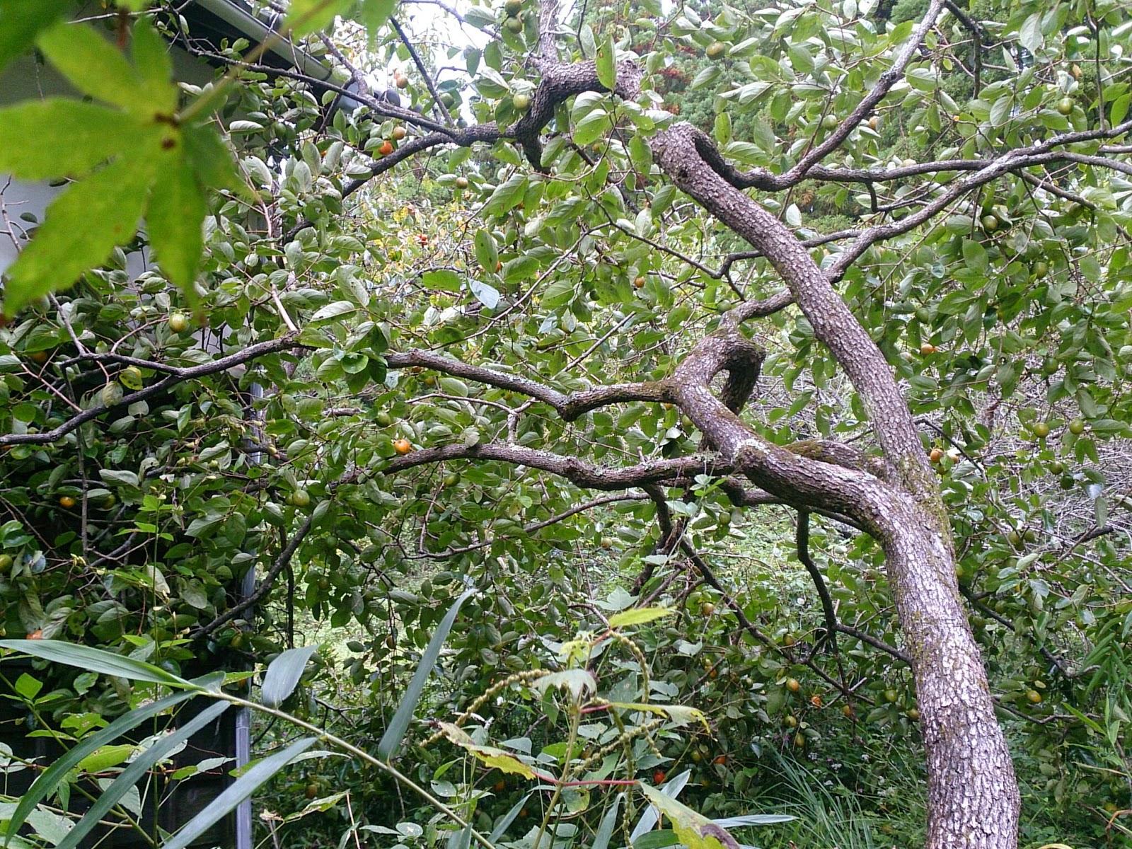 台風で倒れた柿の木