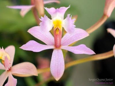 Orquídea Epidendrum ellipticum