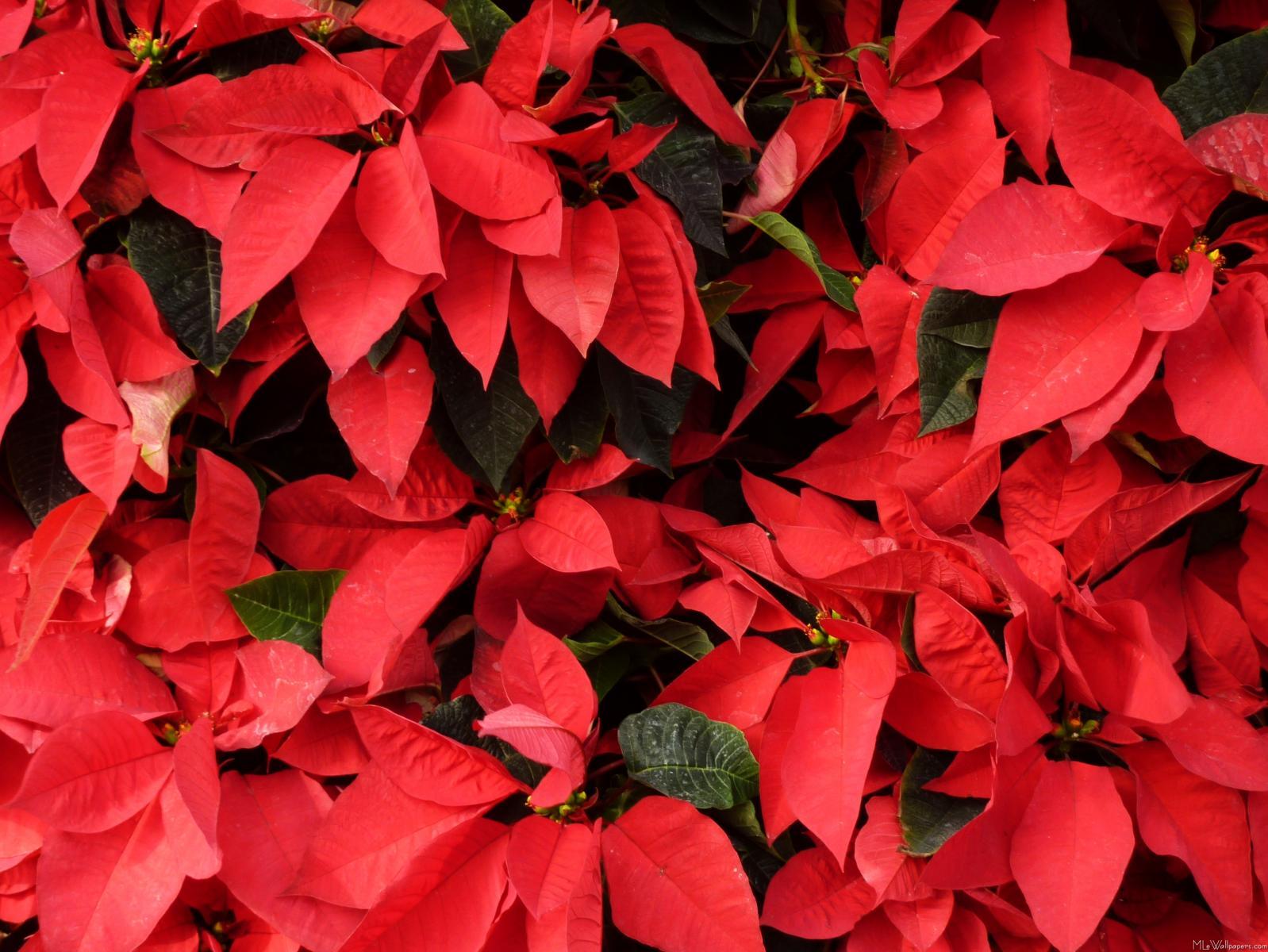 My Carolina Yard How to Keep Christmas Flowers Growing Year Round