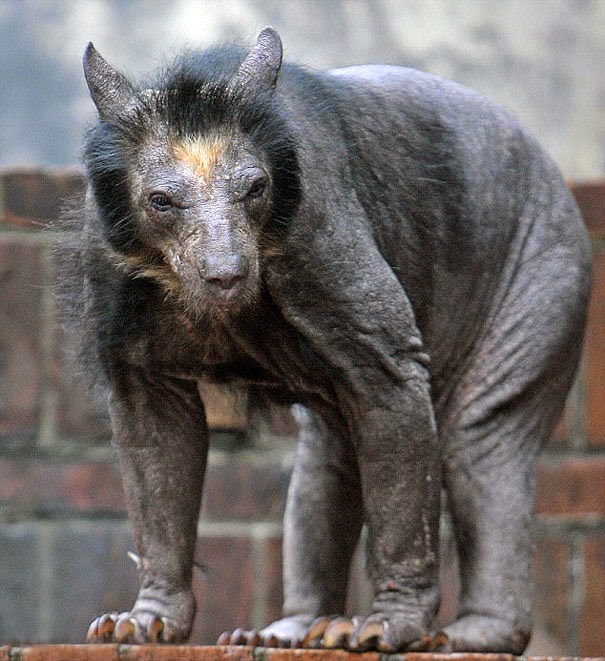 Bear without fur coat