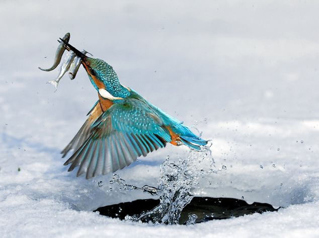 King Fisher with fish 2