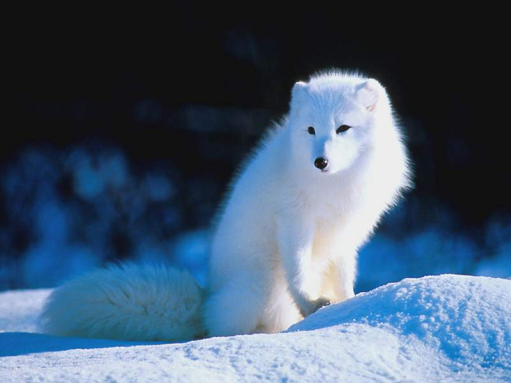 Picture arctic fox in winter