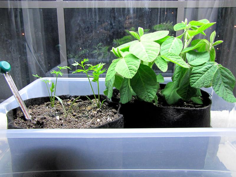 Bucolic bushwick indoor vegetable gardening carrots and for Indoor vegetable garden