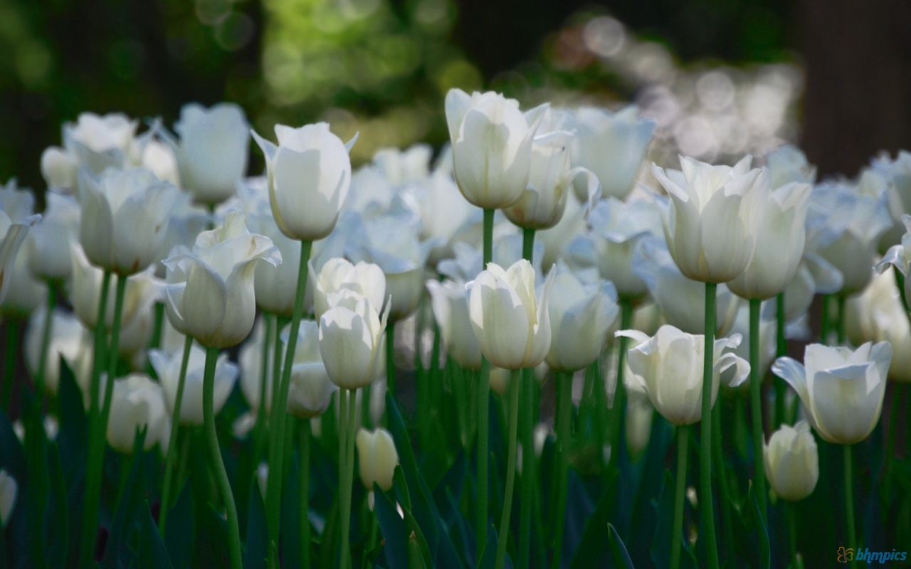 Hd Wallpapers For Desktop White Tulips Flower Garden Hd