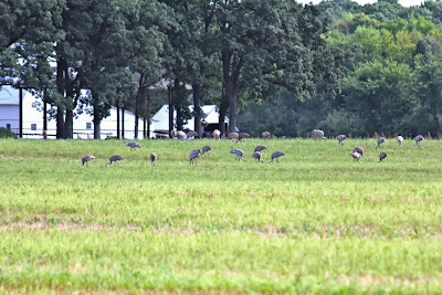 photo of flock of sandhill cranes feeding