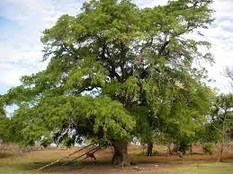 Pohon Asem