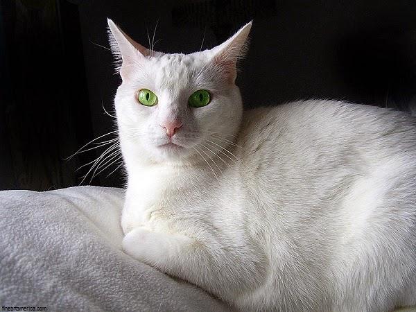 Photo chat blanc mignon au yeux vert