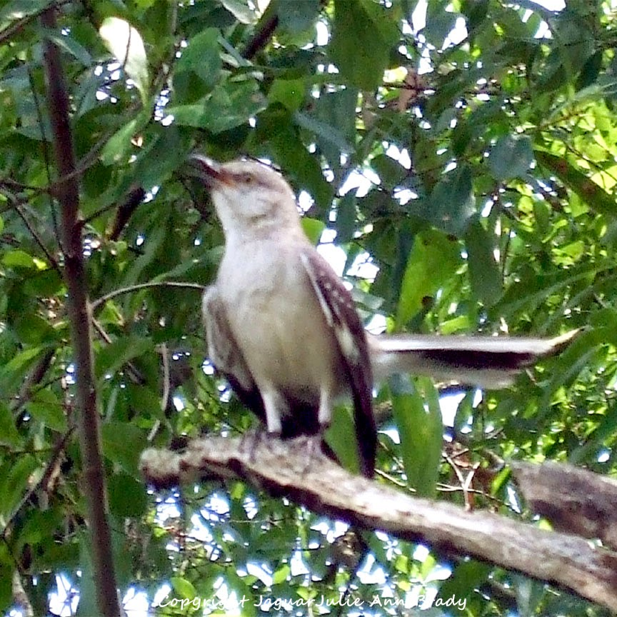 Adult Mockingbird Protective Behavior 18