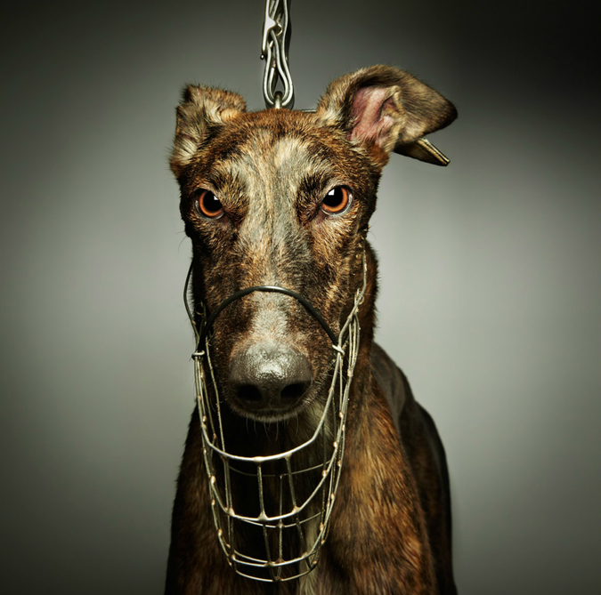 Notes from the Pack - bulletins from the dog world. Toby Dixon's incredible greyhound portraits
