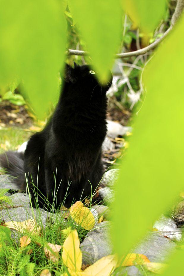 svart katt under manchurisk välnöt limegrön
