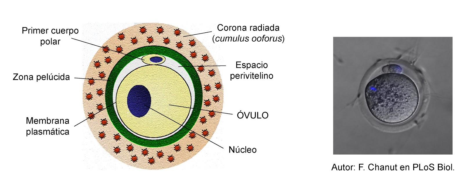 El óvulo compañado del primer cuerpo polar, la zona pelúcida y la corona radiada