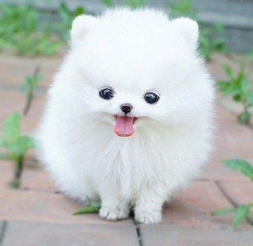 Teacup Pomeranian Puppy wallpaper 1080p