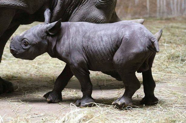 Endangered black rhino born at Lincoln Park Zoo | Fun ...