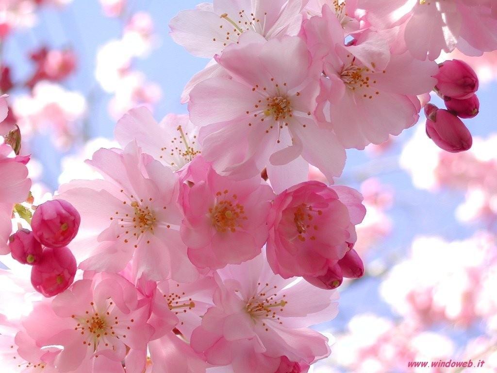 fondo-de-pantalla-flores-rosadas-cerezo