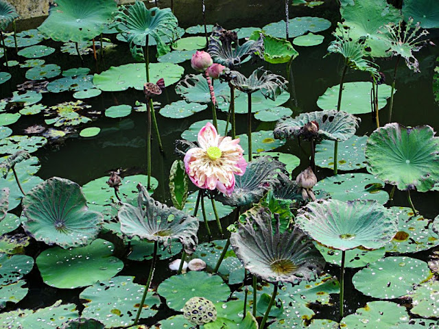 lotus seeds and flowers