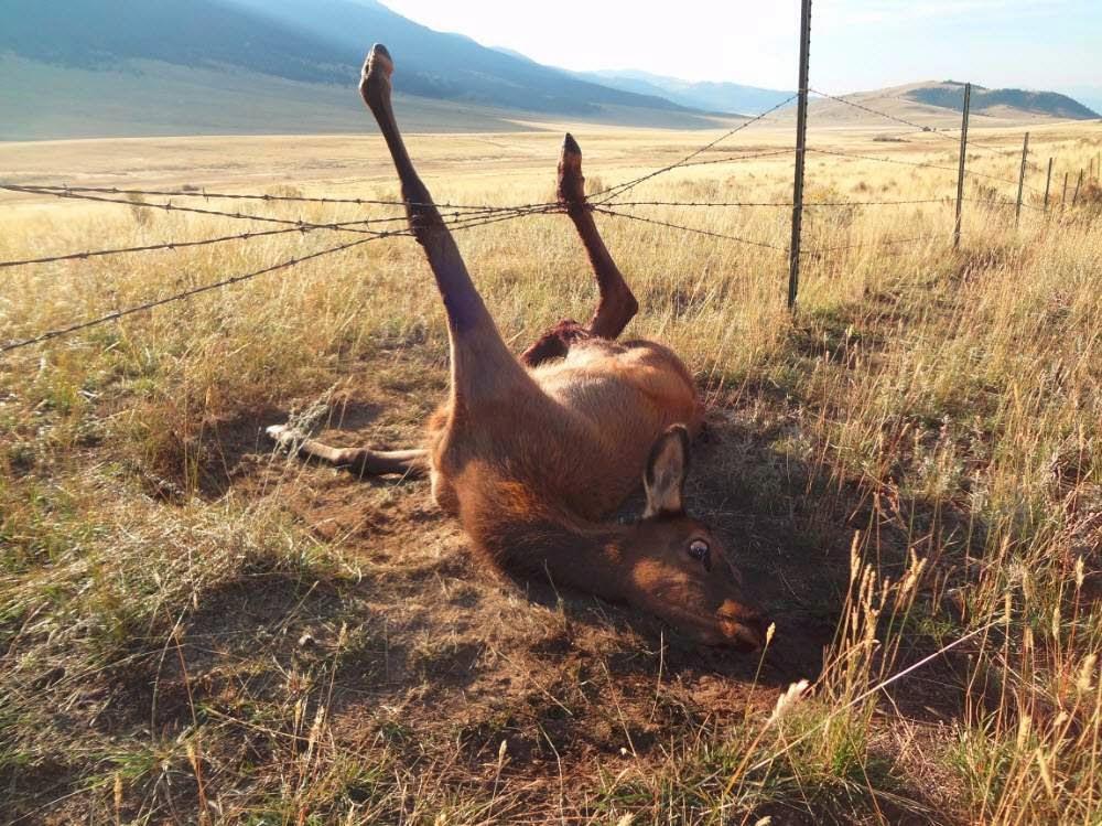 how to cut horns off an elk