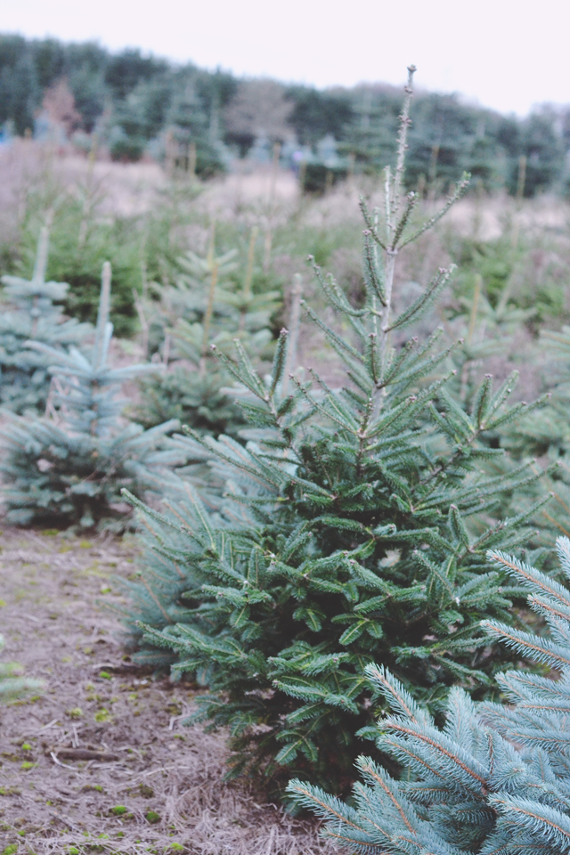 Blue spruce Christmas tree