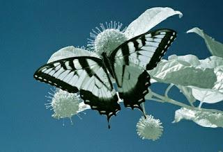 Black And White Butterfly New Destkop Wallpaper