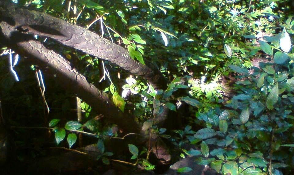 Snake ( Pit Viper ) Venomous
