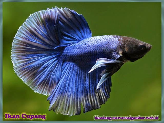 gambar ikan cupang aduan berwarna biru