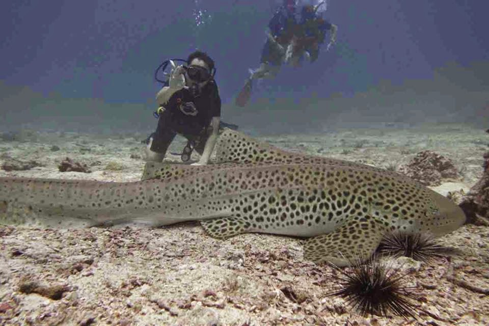 Beautiful Leopard Shark at Shark Point.