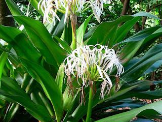 Bakung (Crinum asiaticum L)