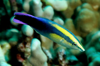 Cleaner Wrasse pic