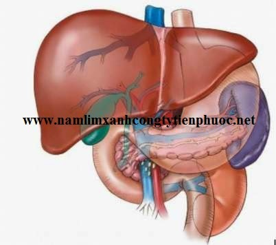 Bài thuốc chữa xơ gan, viêm gan hiệu quả từ nấm lim xanh