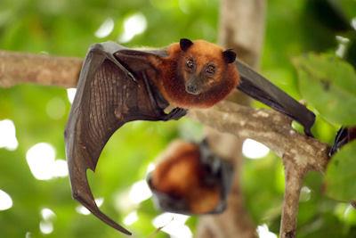 Murciélago volando en Malasia - Flying bat in Malaysia
