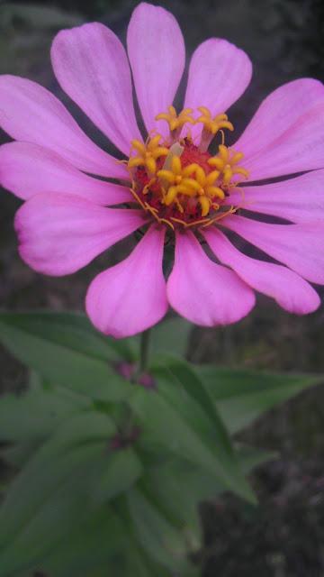 Floarea din gradina