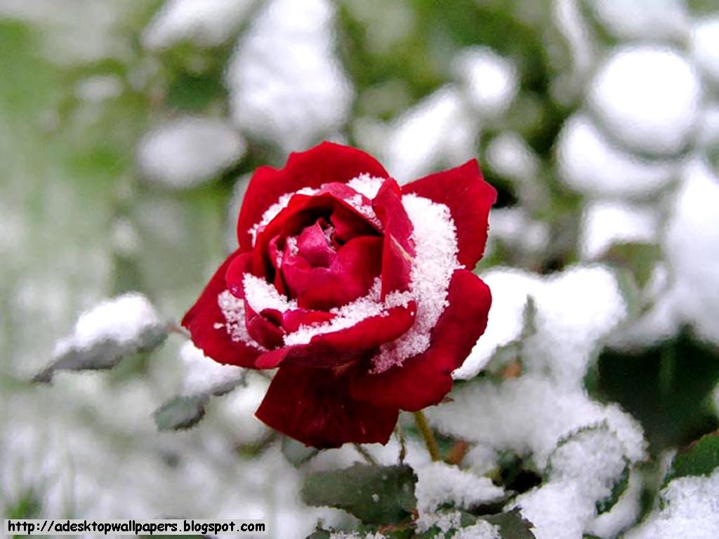 Rose Flower Desktop Wallpapers