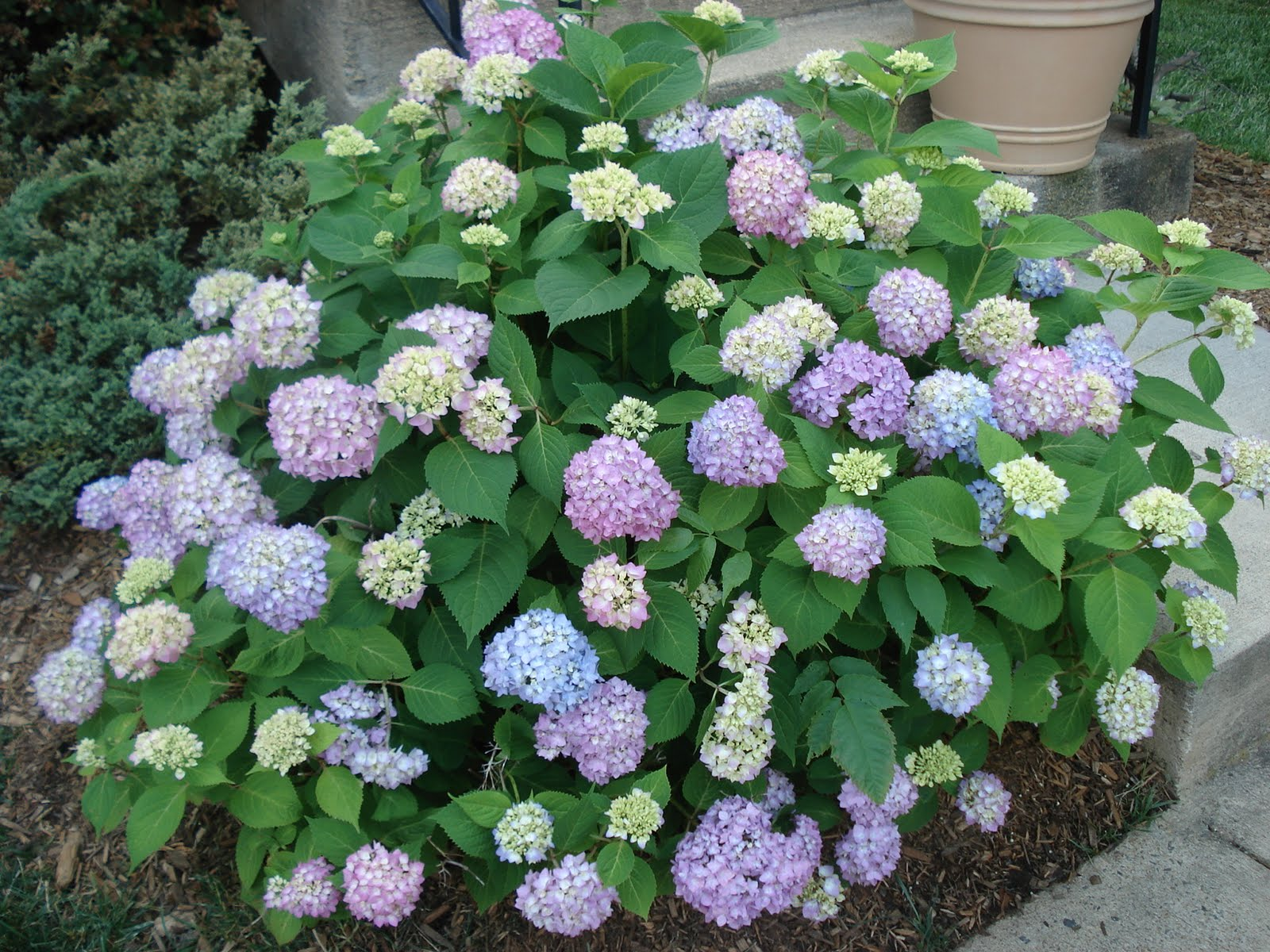 Bumble Lush Garden Spotlight On Hydrangeas