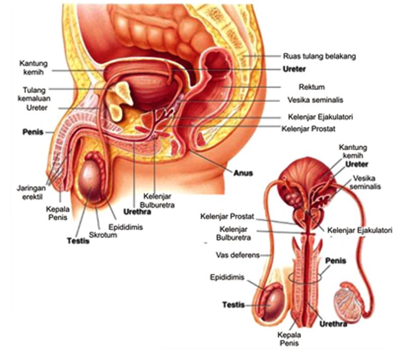 makalah hormon kortikosteroid