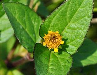 Manfaat Dan Khasiat Bunga Jotang Untuk Kesehatan