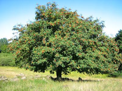 serbal silvestre Sorbus aucuparia